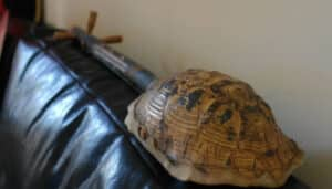 Read more about the article Turtle Shell Guitars (Are They Legal?)